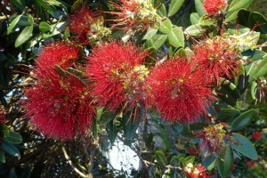 The Bees are loving the Pohutukawa