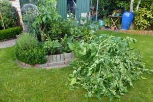 Pruning tomatoes?