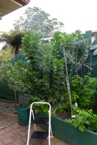 I have to use a ladder to pick my broad beans!