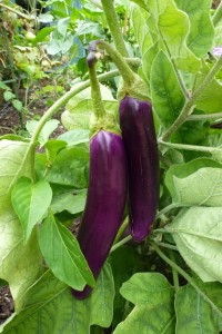 Growing Eggplant or Aubergine