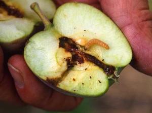 Codling Moth Biological Control