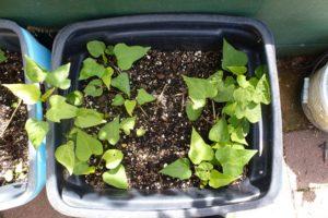 Kumara plants establishing