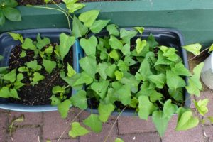 Growing kumara in containers