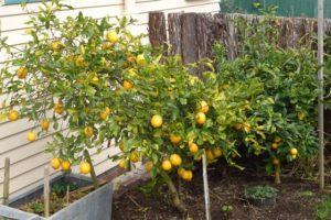 Lemon tree dripping with lemons