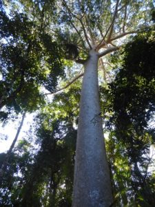 Giants of the Rainforest
