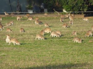 Hundreds of grazing wallabies