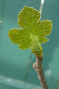 Emerging fig leaf