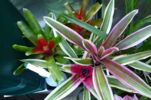 Bromeliads love the greenhouse too