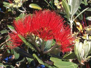 Pohutukawa - NZ's Christmas trees
