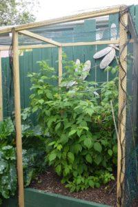 Netting frame over raspberries