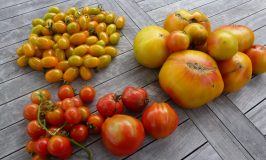 Trying different tomato varieties