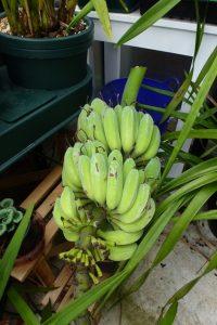 Bananas ripening in greenhouse