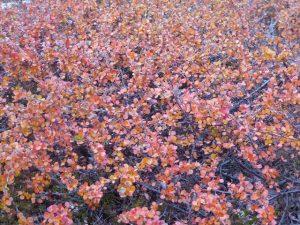 Arctic flora
