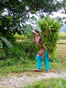 Bringing home rice straw