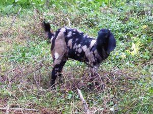 Patchwork goat