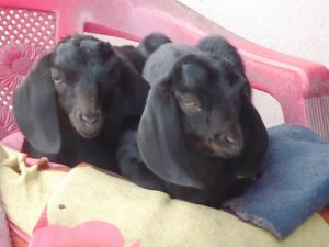 Baby goats curled up on chair