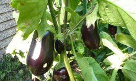 Eggplant success