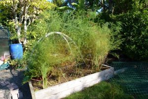 Tall feathery asparagus fronds