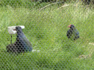 Takahe and chicks