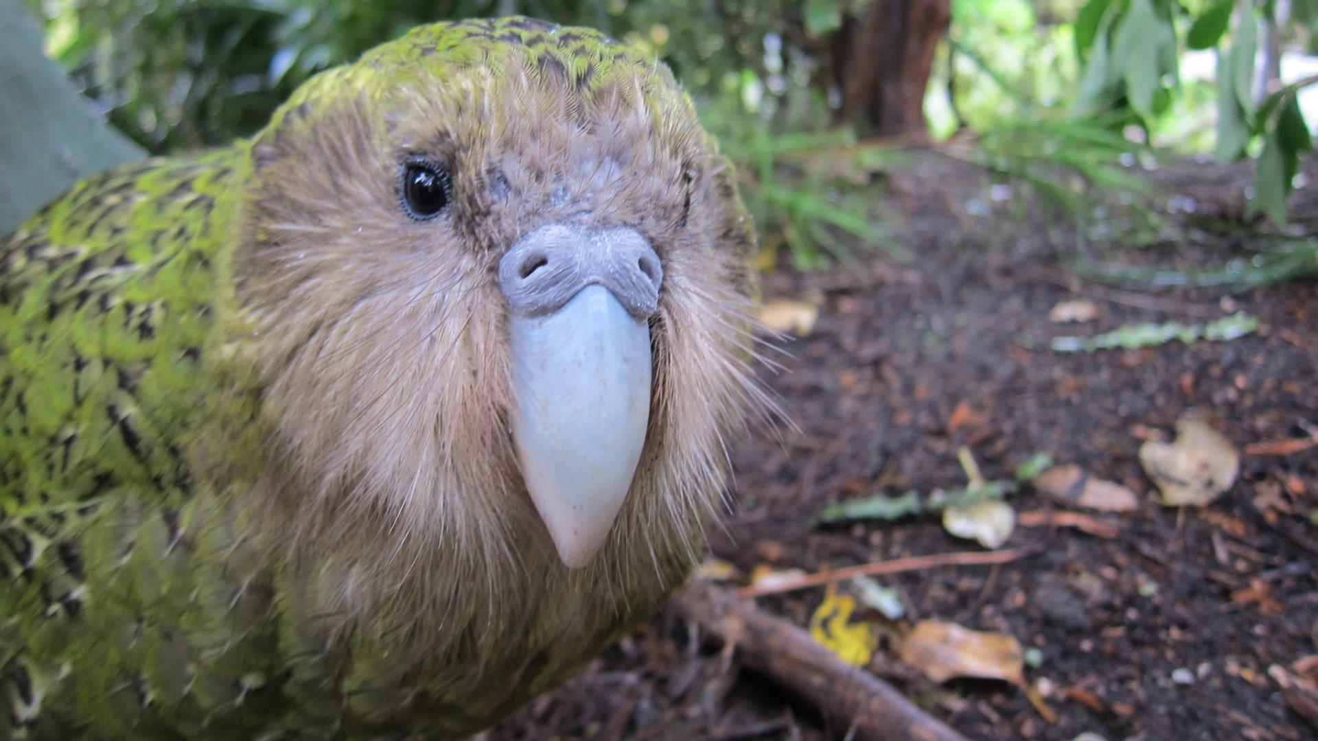 Sirocco -kakapo