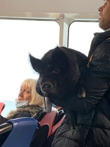 Pig on the ferry